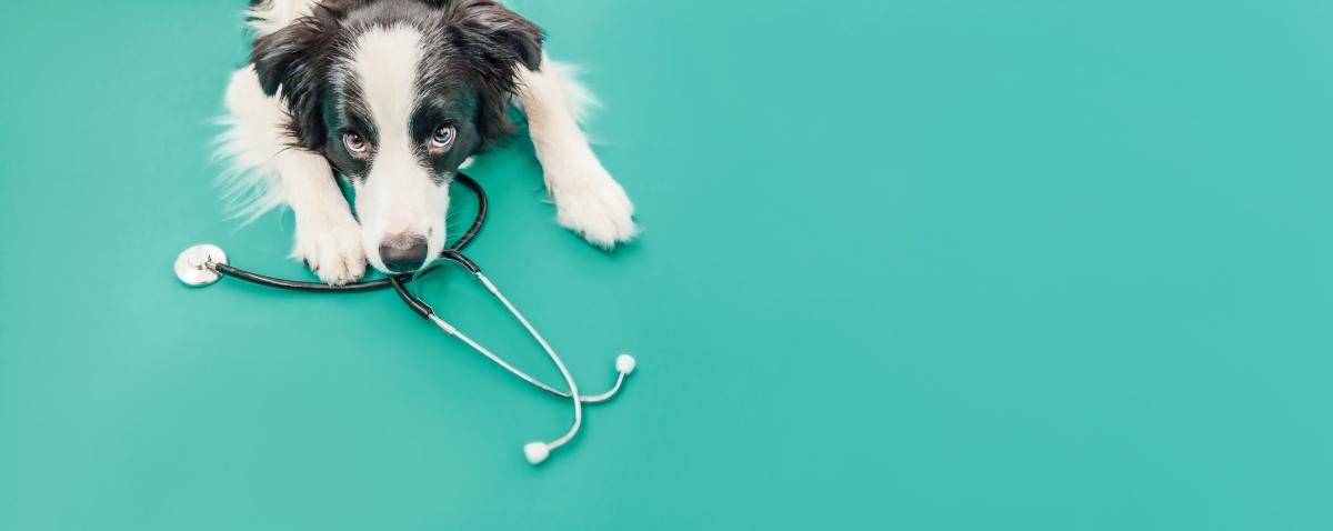 pes na veterině